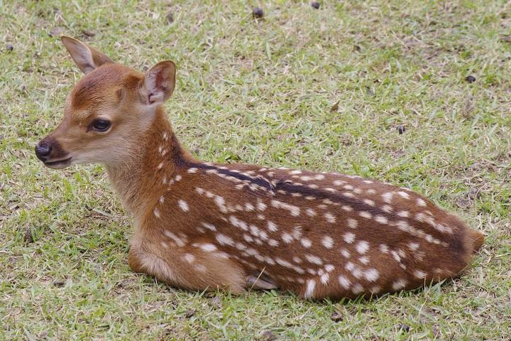 奈良公園鹿苑 子鹿一般公開